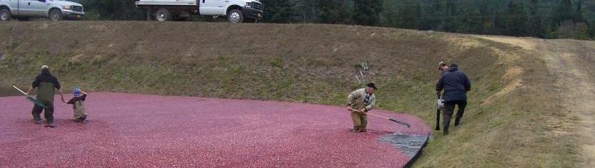 Cranberry Harvest 2006 037